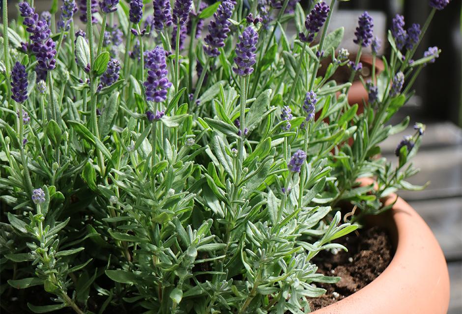 Plante anti-moustique : 7 variétés pour les éloigner